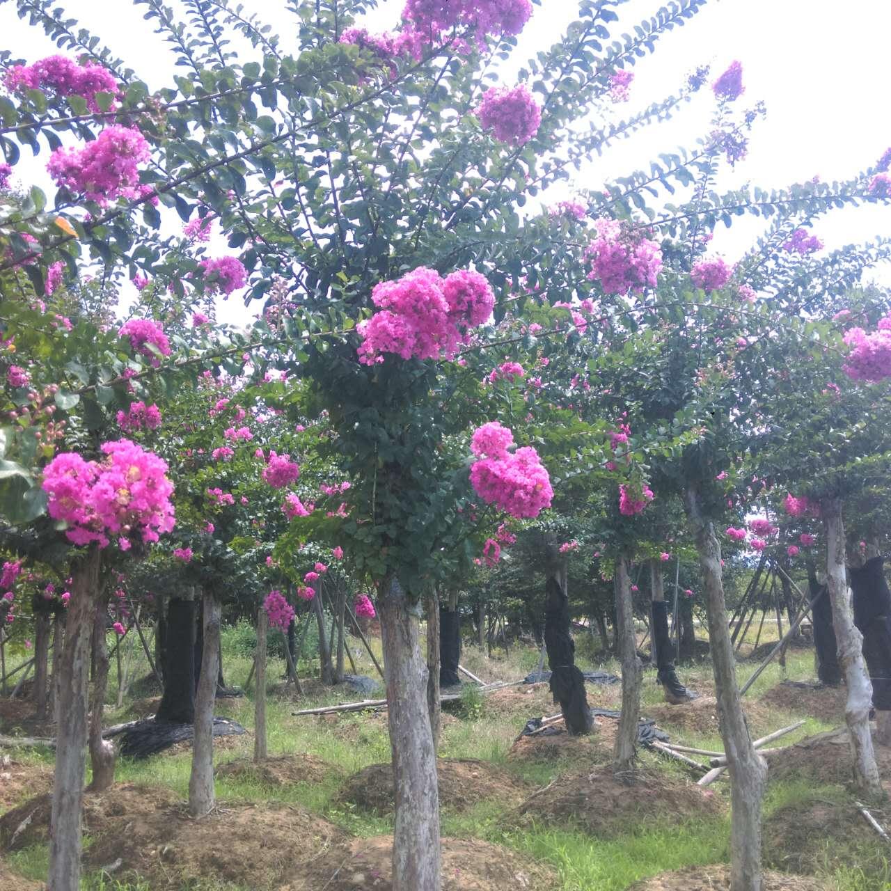 �L沙市雨花�^中和苗圃 嫁接紫薇