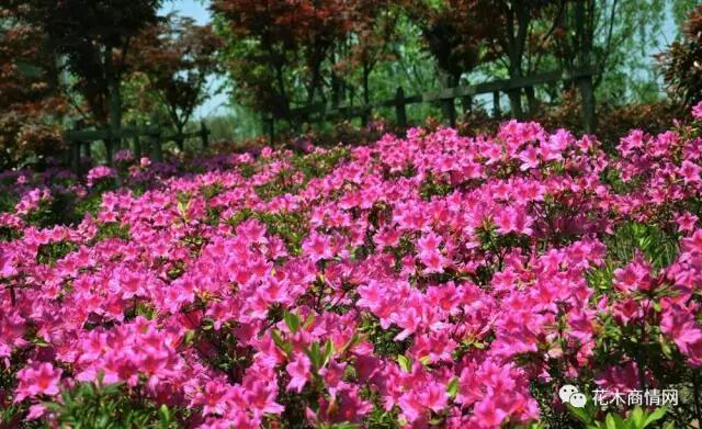 无论是地被植物还是花灌木,开花乔木,大乔木,销量整体稳定,价格都呈现