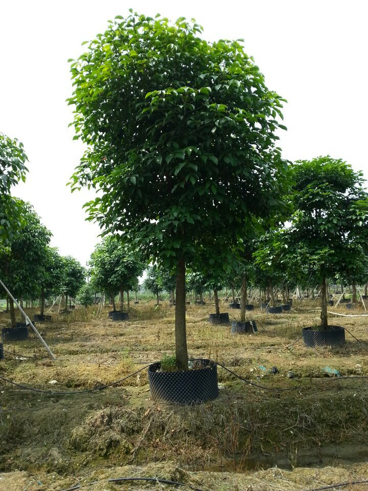 秋枫幼树稍耐荫,喜水湿,秋枫为热带和亚热带常绿季雨林中的主要树种.