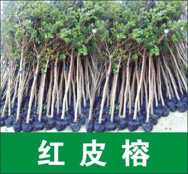 福建省漳州海西花木场