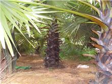 柬埔寨糖棕