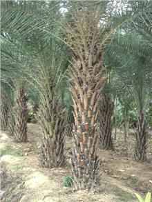 中东海枣图片