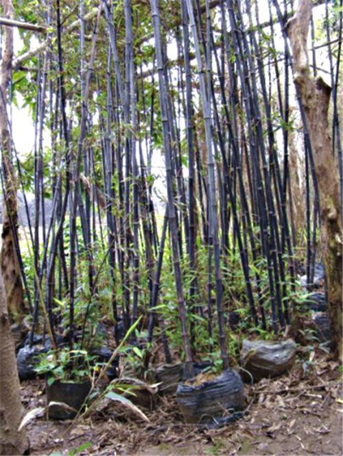 米径1公分紫竹图片