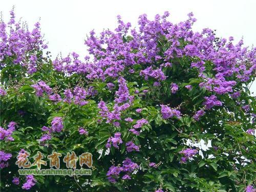 米径16公分大叶紫薇图片