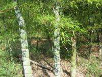 龟甲竹(龙鳞竹,佛面竹)