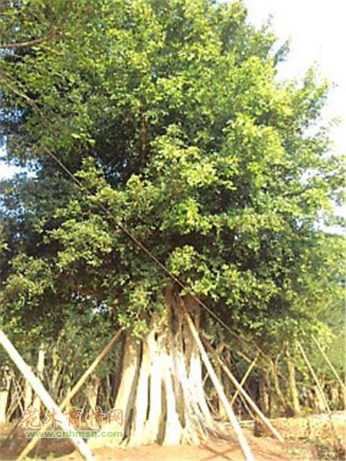 米径150公分细叶榕图片