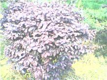 红花��木