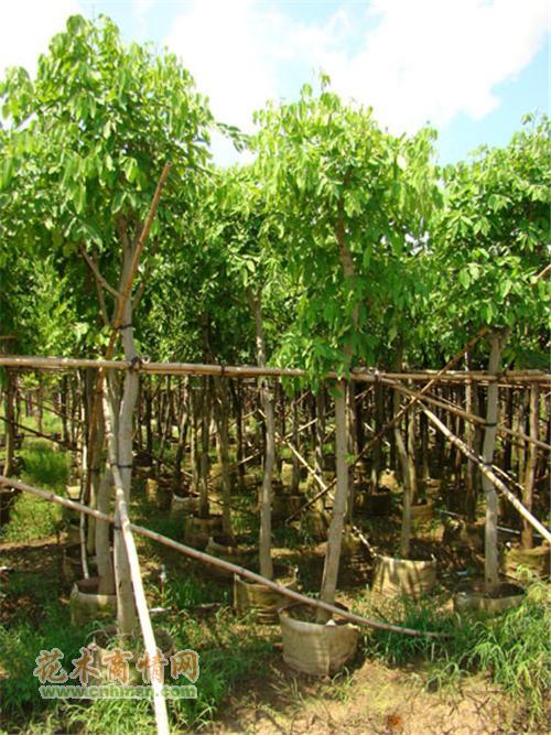 腊肠树在广东揭阳的价格及牛角树