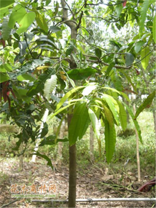 广东省珠海市斗门区莲洲镇莲春花木场提供广东珠海地区芒果树品种的