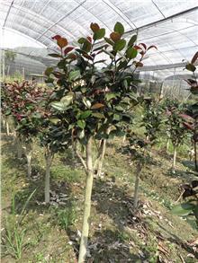 茶花-贝拉大玫瑰