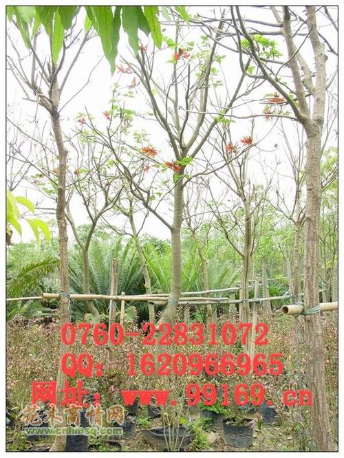 红千层 红叶李 阴香 芒果树 花叶榄仁    鸡冠刺桐  鸡蛋花  佛肚树