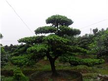 罗汉松盆景