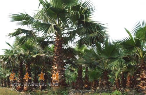乔木类:秋风(重阳木),古榕树,凤凰木,香樟,杜松,小叶榕,盆架子,菩提树