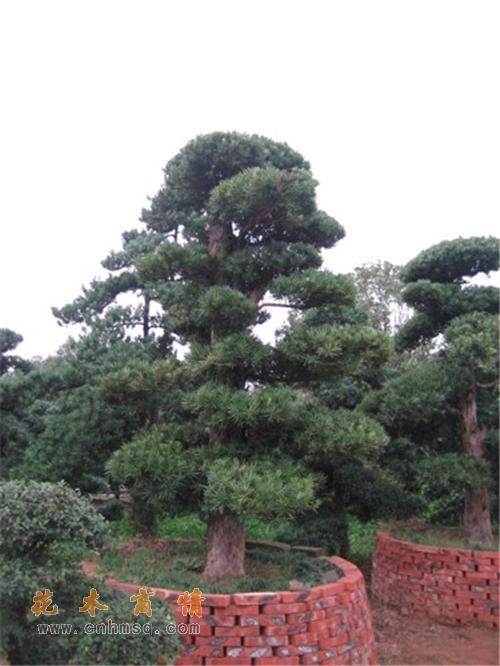 杜盆景石榴树盆景