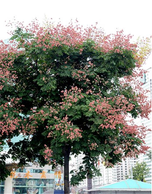 栾树-灯笼树,摇钱树,金雨树,国庆花,木老芽-泰兴市