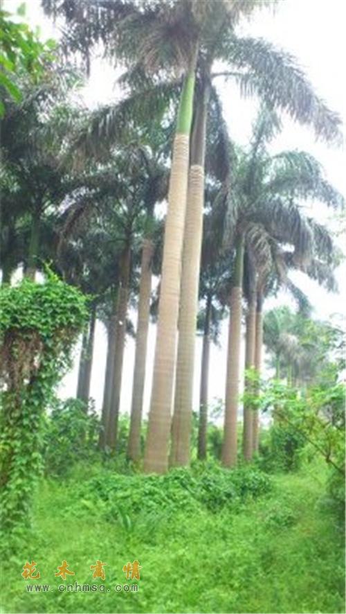 广东中山地区大王椰子价格
