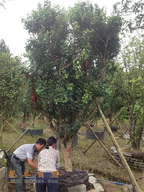 米兰在广东广州的价格及树兰,米仔兰种子种苗报价供货