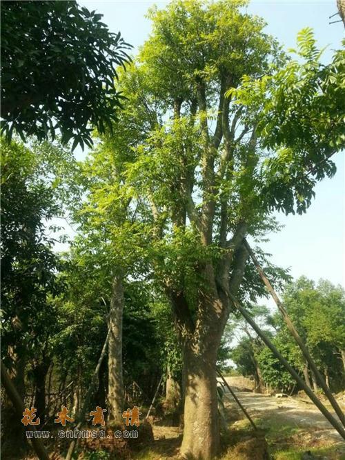 橄榄树在广东江门的价格及种子种苗报价供货单位