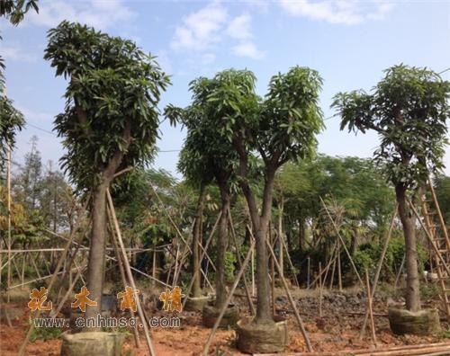 芒果树在广东广州的价格及种子种苗报价供货单位