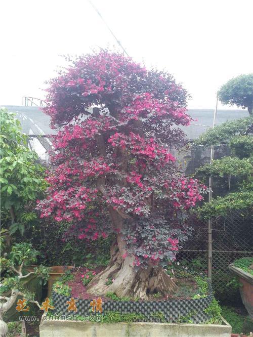 红花檵木在广东潮州的价格及红继木,红桎木,红花继木