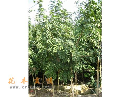 腊肠树 产品分类: 乔木类