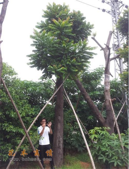 麻楝在广东揭阳的价格及阴麻树