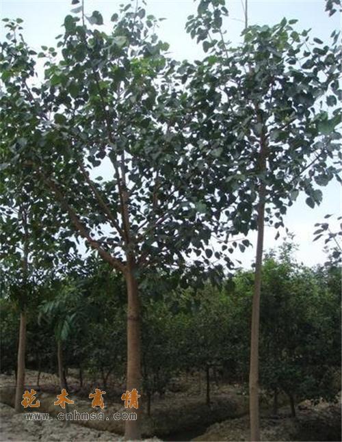 菩提树在广东揭阳的价格及菩提榕种子种苗报价供货