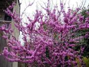 巨紫荆(满条红)