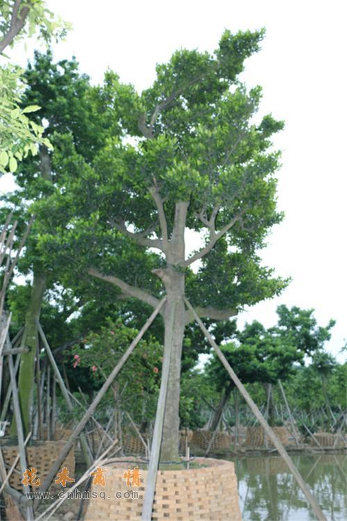 和顺树在广东广州的价格及鹅山木