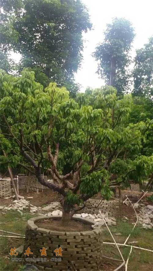荔枝树在广东佛山的价格及荔枝种子种苗报价供货单位