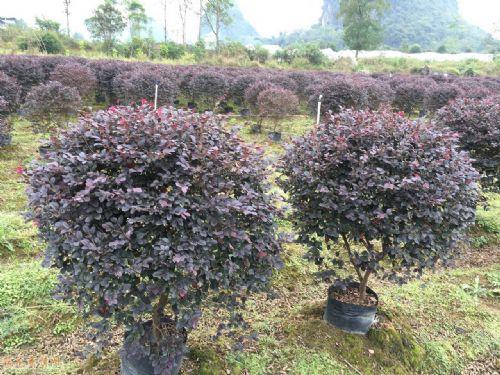 红叶石楠,红背桂,四季桂          品名 类型 规格/cm 红花继木球 袋