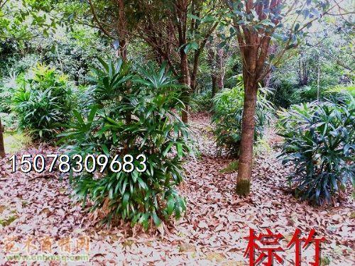 原生红继木造型树桩和高大丛生