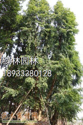 龙眼树,沙田柚