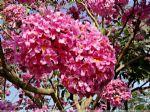 红花风铃木