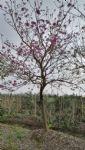 紫花风铃木