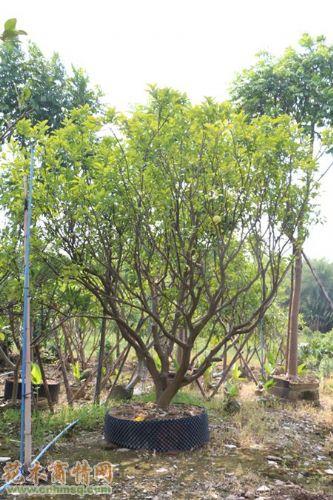 水石榕,盆架子,细叶榄仁            相关信息: 广州市丛生柚子树基地