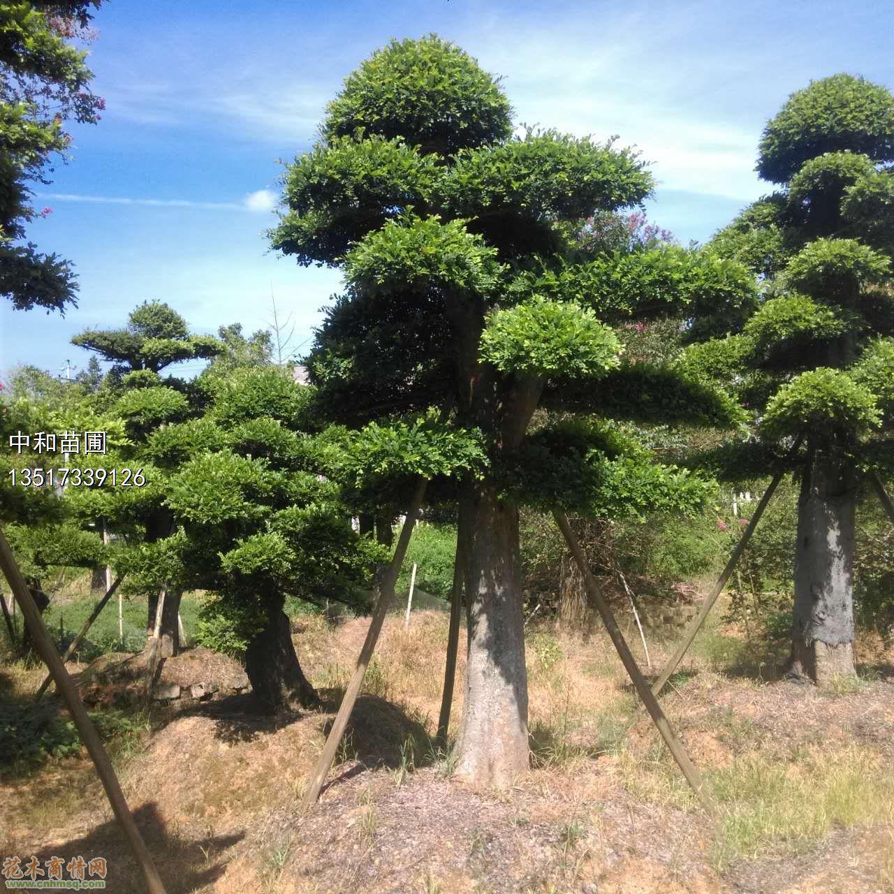 椤木石楠    ·下一个产品:茶花 产品分类: 乔木类 产品名称: 榆树(地