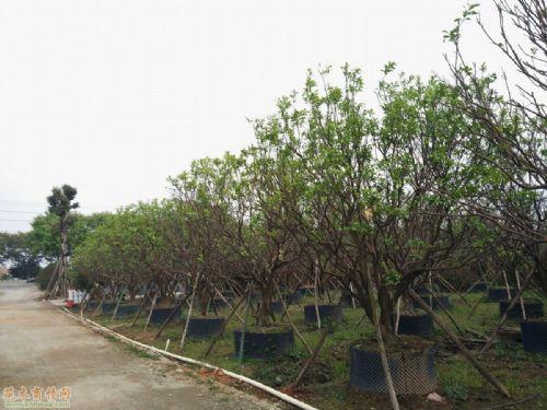 丛生洋蒲桃,丛生杨梅,丛生琴叶榕,红花玉蕊,萍婆树,黄金熊猫,海红豆