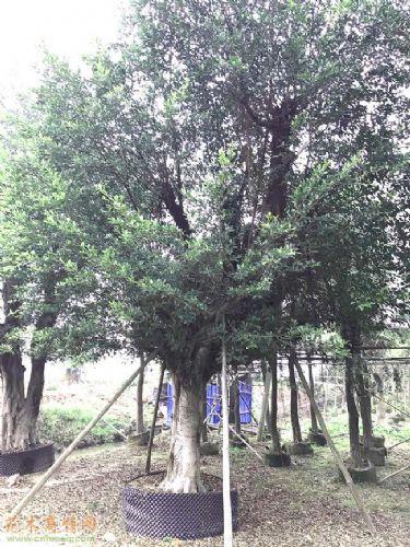 米径28公分细叶榕图片