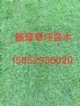 台湾草(细叶结缕草,天鹅绒草)