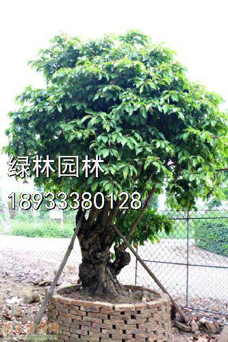 盆景 盆栽 树 植物 榕树 333_500 竖版 竖屏
