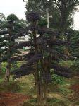 造型红花继木古树