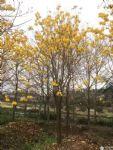 黄花风铃木