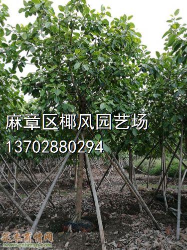 米径13公分富贵榕图片
