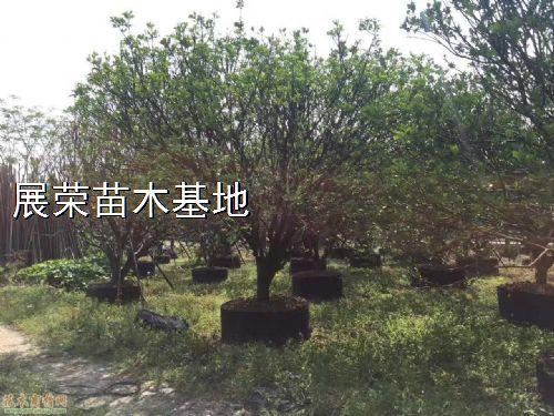高度400公分丛生柚子树图片
