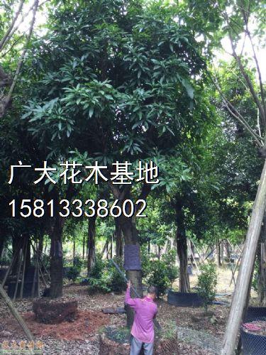 高度650公分芒果树图片