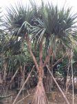 红刺林投图片