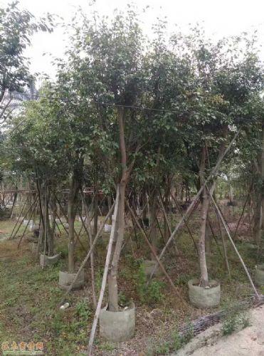 米径12公分垂叶榕图片