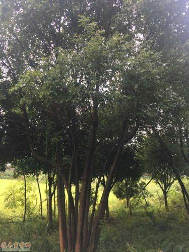 米径60公分野生香樟图片