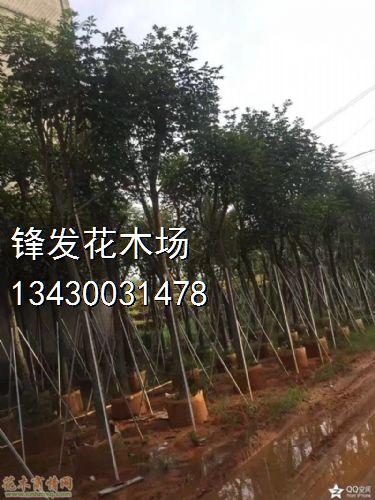 米径9公分黄花风铃木图片